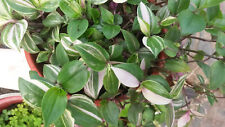 Tradescantia cerinthoides variegata  two rootless cuttings, rare house plant