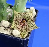Huernia mccoyi, plant with minimum 3 stems, well rooted, flowering size!, Phyto