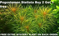 Buy 2 Get 1 free Eusteralis stellata Pogostemon Live Aquarium Plant Freshwater
