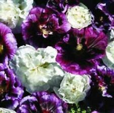 35+ BLACKBERRY RIPPLE HOLLYHOCK FLOWER SEEDS / PERENNIAL