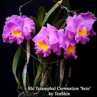 Rlc. Triumphal Coronation 'Seto' 3 1/4'' Pot T658