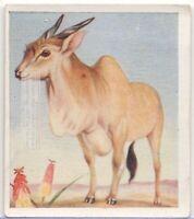 Eland Antelope Africa Taurotragus oryx  c80 Y/O Trade Ad Card