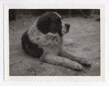 PHOTO ANCIENNE Chien couché Saint Bernard Dog Animal Vers 1950 Pattes Profil