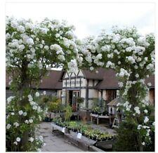 Rose Seeds 30 x White Rose Seeds ICEBERG Climbing Rose U.K. Seller