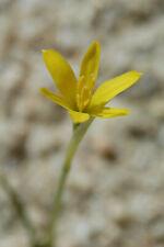 Daffodil, Narcissus cavanillesii seeds