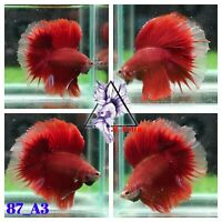[87_A3]Live Betta Fish High Quality Male Fancy Over Halfmoon 📸Video Included📸