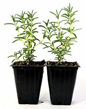 Tuscan Blue Rosemary - 2 Pack Aromatic Scent Mature Hardy Cooking Fresh