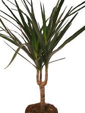 Drachenbaum - Ideal für sonnige Standorte