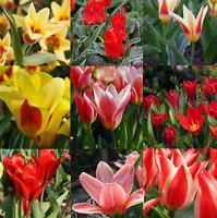 TULIP DWARF ROCKERY SPRING FLOWERING BULBS / PREMIUM QUALITY / READY TO PLANT