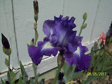 1 Suky Tall Bearded Iris Rhizome