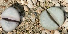 Lithops meyeri C 272 20 seeds