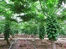 Hybrid Fruit Seeds - Little Dwarf Huge Production Thai Red Lady Papaya 30 Seeds
