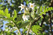 Litschi-Tomate, Solanum sisymbriifolium, exotische Rarität, sehr lecker