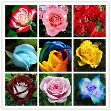 Mixed Rose Flower Seeds Imported from UK 12 Seeds