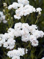 50+  Achillea Pure White Flower Seeds / Perennial
