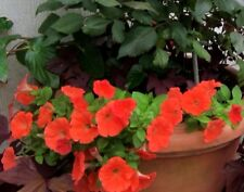 TROPICAL COLORS PETUNIA Red Orange Salmon 30 Seeds