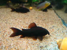 BLACK VENEZUELA CORYDORAS  ** 1.5CM PEACEFUL ** SP BLACK VENEZUELA