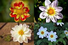 25/250 Seeds Dahlia Dwarf Dandy Mix Semi Rustic Beautiful Flower Heavy Duty