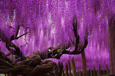 30 seeds of fragrant Pink Wisteria tree flowers