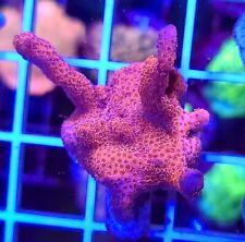 Pink Panther Digitata Montipora * Wysiwyg * Live Coral Frag * Aj's Aquariums