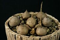 0081 Stephania erecta Craib X6 , pierrei diels,Rare caudex (19.10.26)