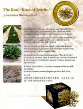 Real Rose of Jericho Mary's Rose,Judea desert Dead sea exclusive original plant