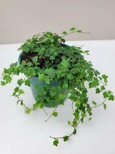 "Ficus Quercifolia Mini Oakleaf Creeping Fig Plant Terrarium Fairy Garden 2.5""Pot"