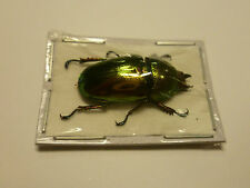 Lamprima adolphinae  F,  BEETLE,  UNMOUNTED,  SIN MONTAR  A1