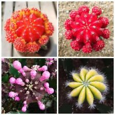 Rare flowering cactus seeds radiation-proof succulent plant indoor potted flower