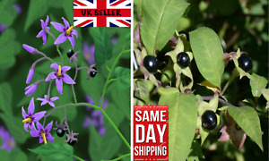 Deadly Nightshade (Atropa belladonna) 25+ fresh seeds. Same Day Dispatch