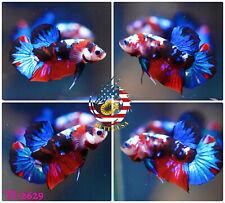 New listing [Ti-2629] Live Betta Fish High Quality Hmpk Male Red Blue Galaxy Koi