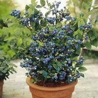100 Pcs Blueberry Tree Seeds Fruit Blueberry Potted Bonsai Tree Seed