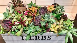 10 Assorted Fresh Premium Succulent Cuttings 10 Varieties Some from Korea/China