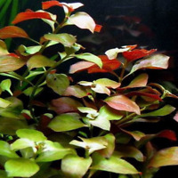 Ludwigia Repens Super Red Live Aquarium Plants Freshwater Decorations Stem Bunch