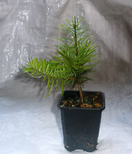 Nordmann Fir, Nordman Fir, Real  Living Christmas Tree . 20 - 30cm inc. Pot  X 2