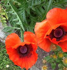 Türkischer Mohn Feuer-Mohn Samen (Papaver orientale) Mehrjährig große Blüten