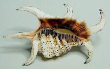Conchiglia Shell Lambis Harpago rugosa chiragra arthritica 130mm