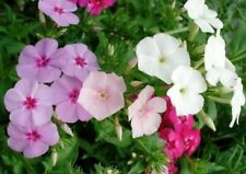 PHLOX  ANNUAL MIXED COLORS 50 FRESH SEEDS FREE SHIPPING