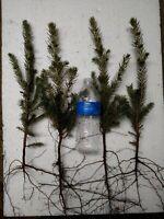 """100 FAST GROWING NORWAY SPRUCE TREE SEEDLINGS 15""""-20""""!!     GROWER DIRECT!!"""
