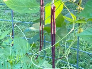 "Bean Seeds ""Snake Bean,Red Dragon"" (15 Seeds) High Yielding Variety...."