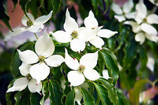 Cornus kousa var. chinensis / Chinese Dogwood, 20-30cm Tall in 2L Pot