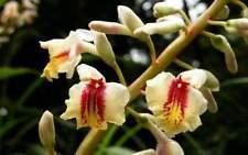 alpinia formosana -- taiwan shell ginger 1 f/s rhizome