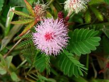 30 Seeds Mimosa pudica Sensitive Plant Touch-me-not