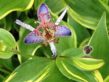 Toad Lily Variegated Live Tropical Plant Shade Garden Tiny Purple Orchid Flower
