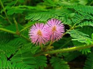 Sensitive Plant (Mimosa pudica) Seeds - Free Shipping