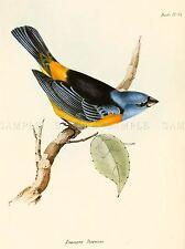 Scientifico uccello Illustrazione Finch Tanagra Darwin Arte Poster Stampa lv3849