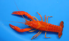 2-3 inch Red/Orange Crayfish for fish tank, koi pond or aquarium crawdad lobster