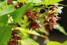 Leycesteria formosa Aurea Gold Leaf  Honeysuckle 15 seeds FREE SHIPPING