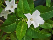 32 Graines Ipomoea aquatica ,'kangkong' water spinach seeds