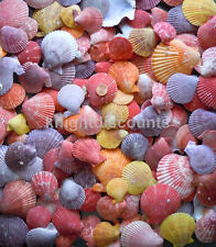 Sea Shells Pecten Colorfull (Approx 60) Real Genuine Nobilis Seashell Bulk Lot